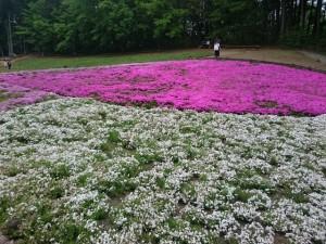 羊山公園 芝桜 混雑