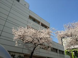 東京都下の桜の名所